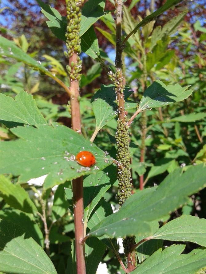 LadyBug and the Hemiptera Invasion